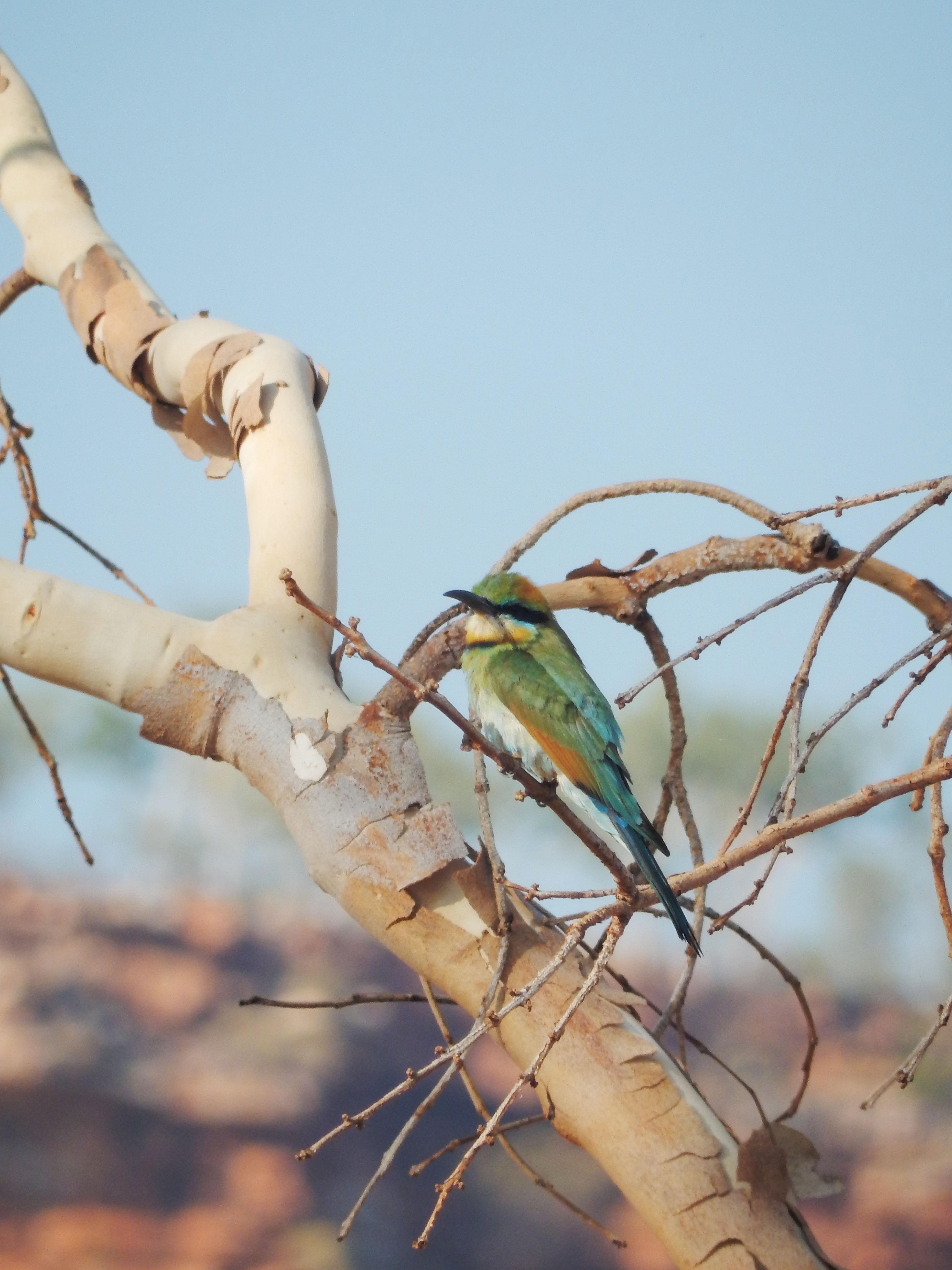 mia_und_ich_blog_rainbow_bee-eater_regenbogenbienenfresser_travel_reise_australien_australia_westernaustralia
