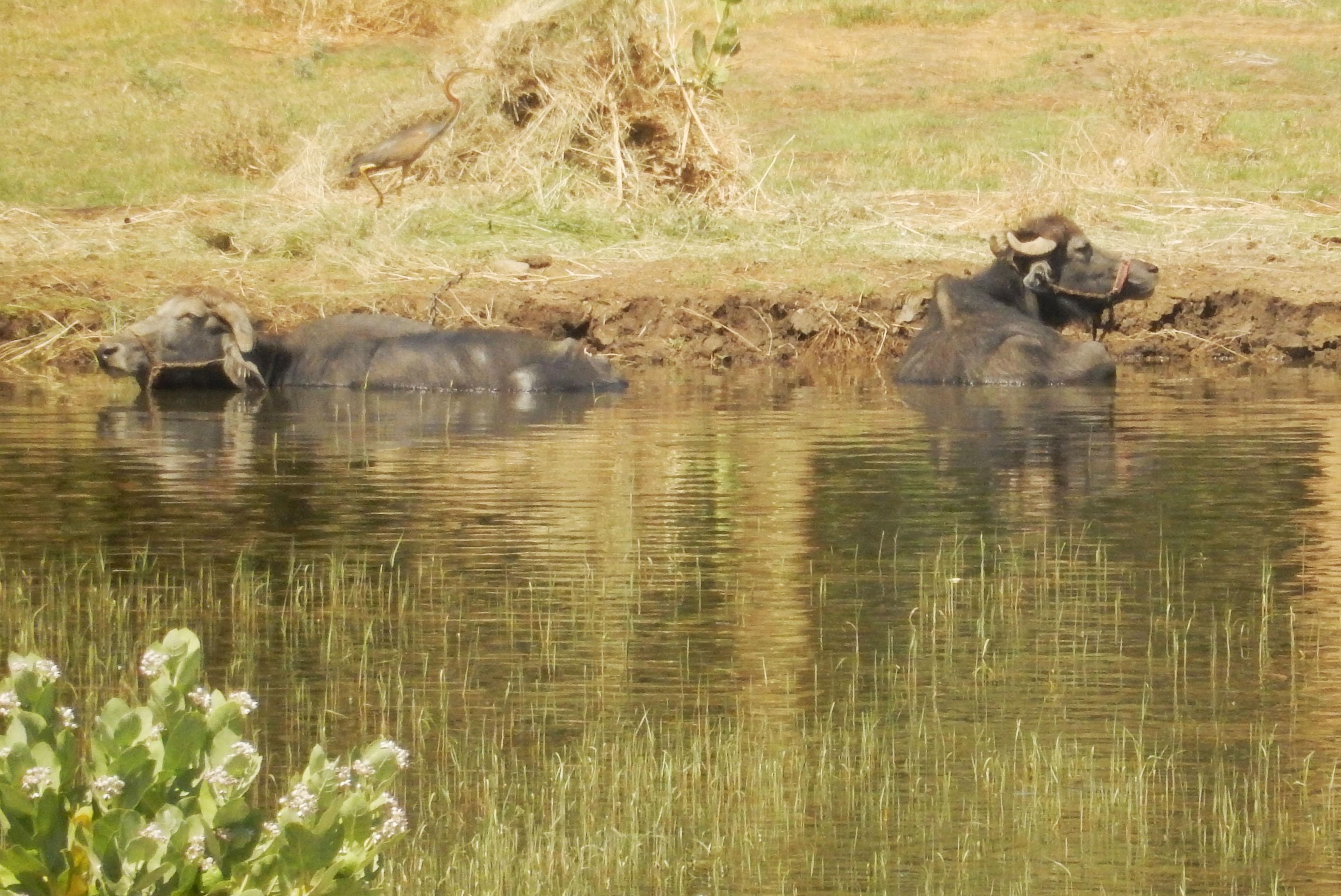 mia und ich blog Nil Wasserbüffel Ägypten Egypt
